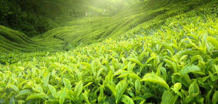 Le thé : toujours en boire pour notre santé