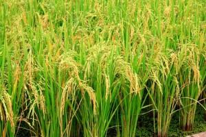 Rice-Field
