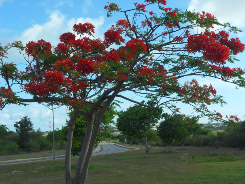 Flamboyant tree in Anguilla close to Church of God of Holiness on Queen Elizabeth Highway, Anguilla