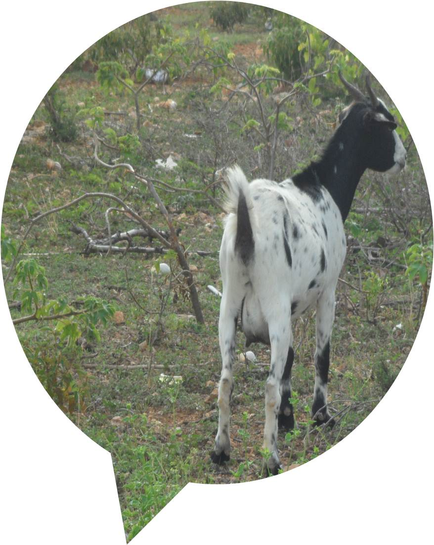 Limin the goat 2