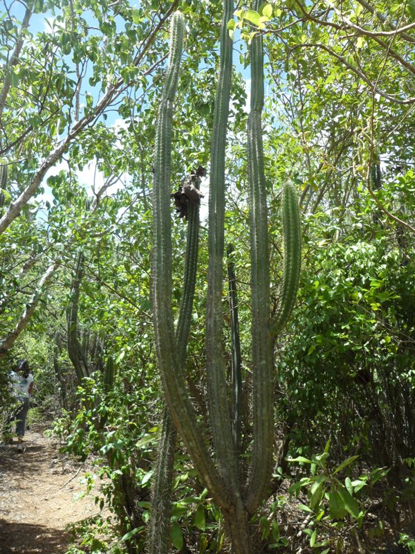Large Cacti, Katouche forest, Anguilla