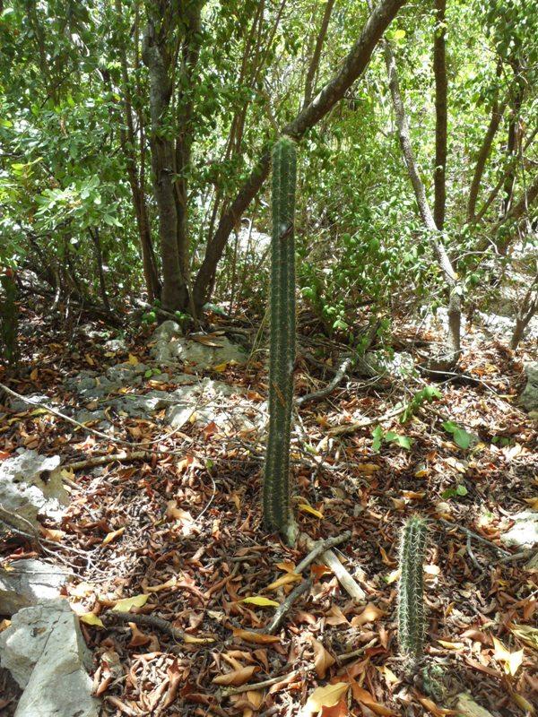 Cacti, rainforest, Katouche, Anguilla