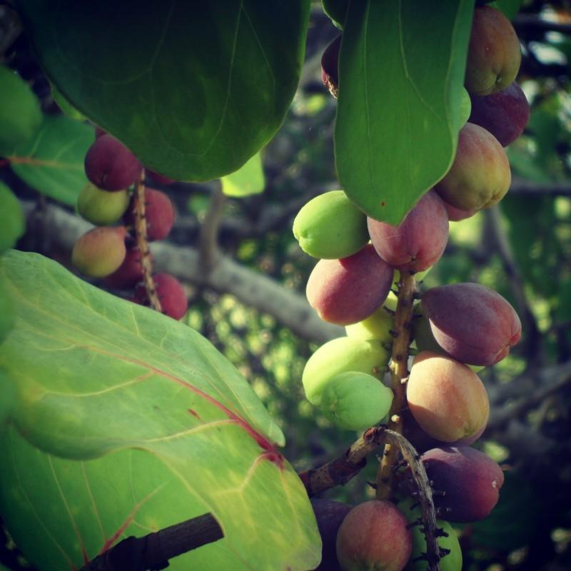Sea Grapes in Anguilla