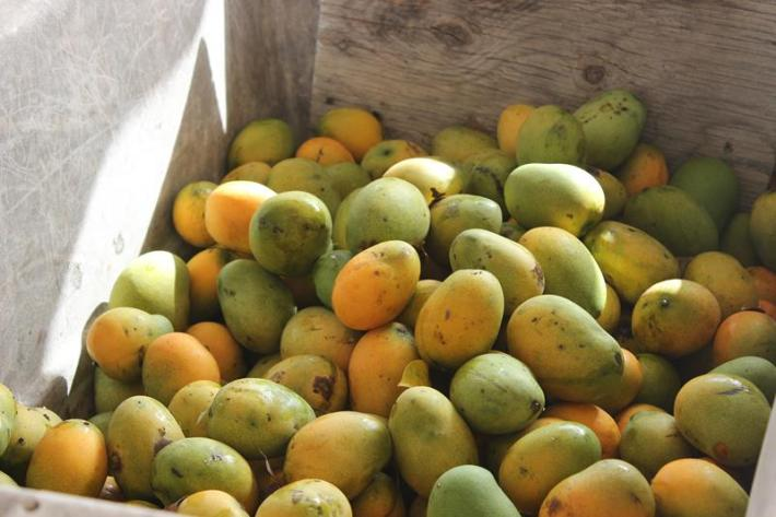 Fresh mangoes at at Welches Village fest Anguilla