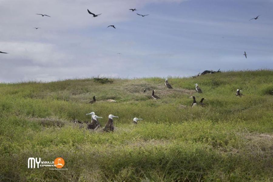 Magnificent Frigatebird and Boobies at Dog Island