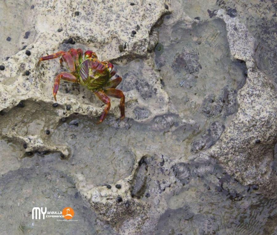 Mr Crab posing at Dog Island