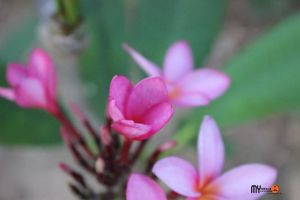 Beautiful flowers in Anguilla