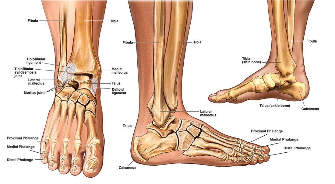 diagram of tibia stress fracture usb wires satu stanito com anatomy the foot and ankle knee mri recovery time