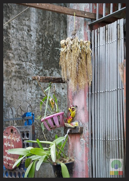 Wheat bunch for birds in Myanmar Streets_2