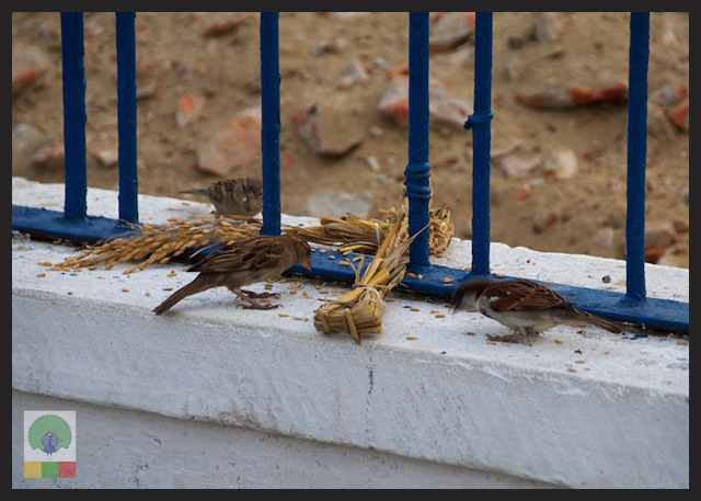 Wheat bunch for birds in Myanmar Streets_8