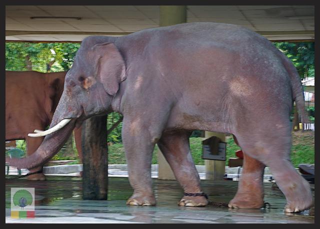 Royal White Elephants at Hsin Hpyu Daw Park, Insein (Yangon)