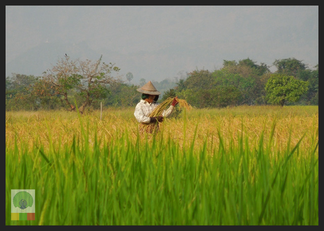 Capture the Colour GREEN - worker in rice field - Pha an - Myanmar (Burma)