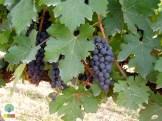 Red Mountain Estate vineyards - Inle Lake - Myanmar Travel Essentials 7