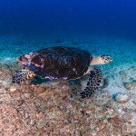 Reef Turtle - Mergui Archipelago Diving Trip - Myanmar Travel Essentials