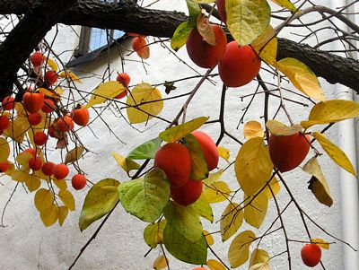 Ripe Hachiya persimmons on a tree in December, licensed under GNU Free Documentation license by author Downtowngal