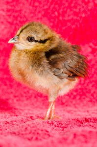 Rare Edwards' pheasant, 8 days old, hatched May 21, 2014
