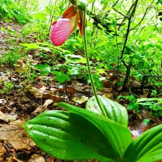 So many Pink Lady Slippers