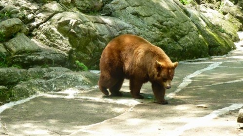 Bear in the Bear Mountain Zoo