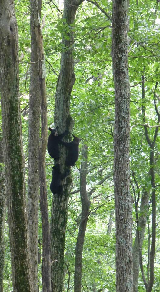 3 bear cubs up a tree