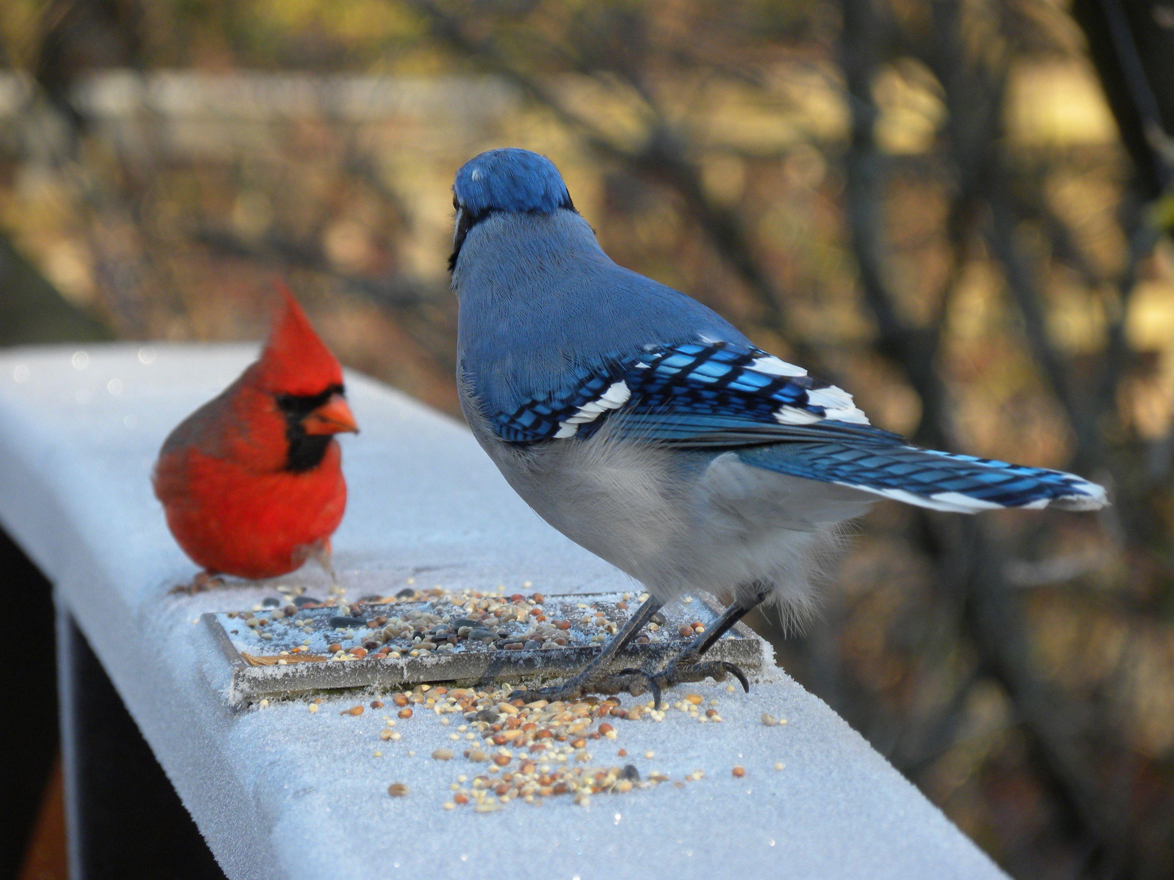 blue jay cardinal my