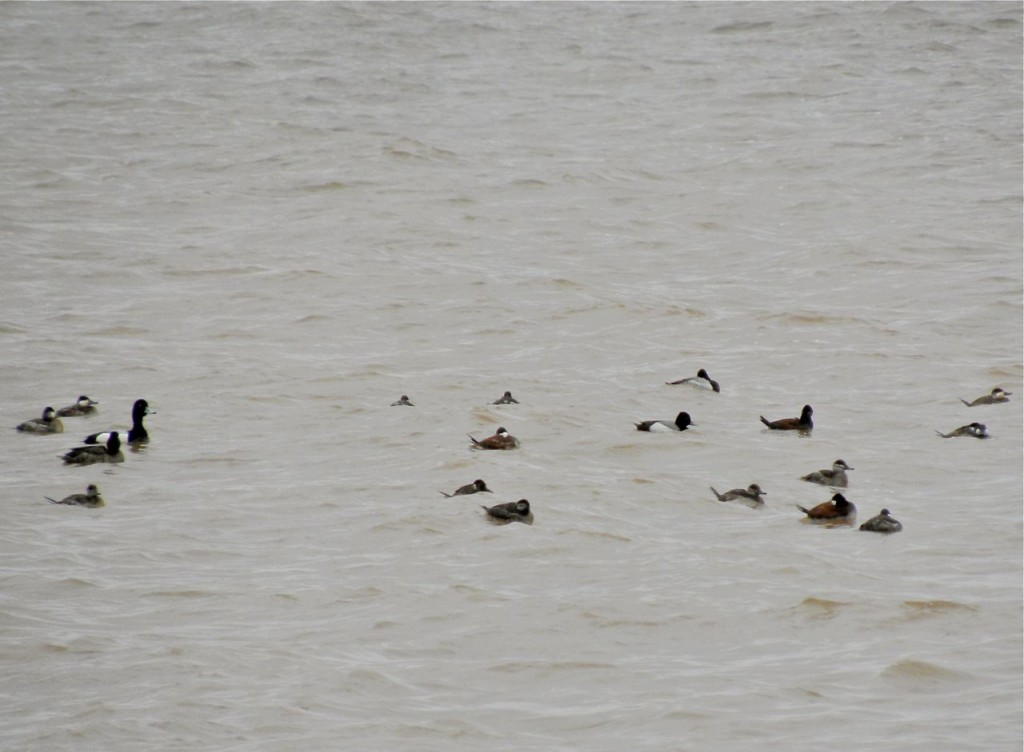 Scaup sp. and Ruddy Ducks