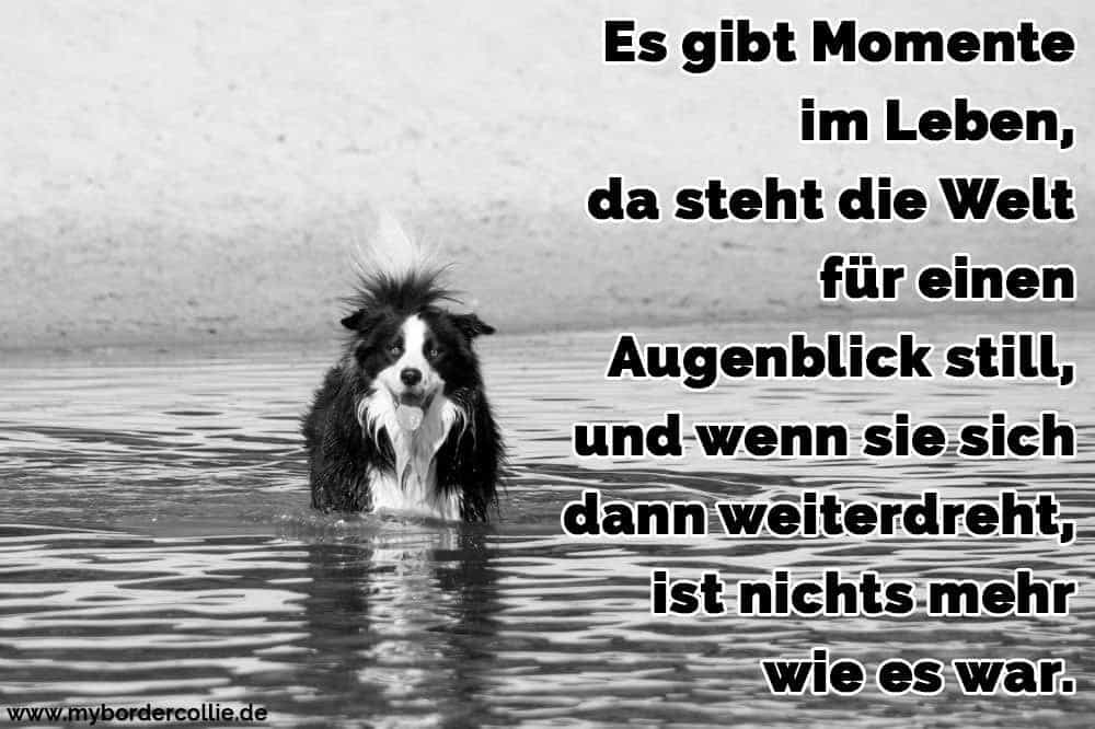 Ein Border Collie in dem See