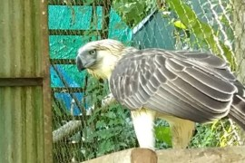 Boysen's adopted Pin-pin the Philippine Eagle