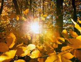 Close up of yellow leaves with the sunlight streaming through it and the forest
