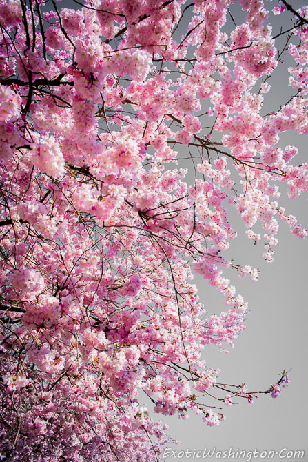 Falling Cherry Blossoms Wallpaper Seattle Travel Story Cherry Blossoms At Fall City Part
