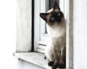 traditional-siamese-cat-picture-1