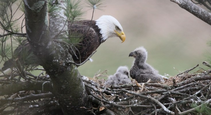 New Bald Eagle Livestream Launched in Pennsylvania