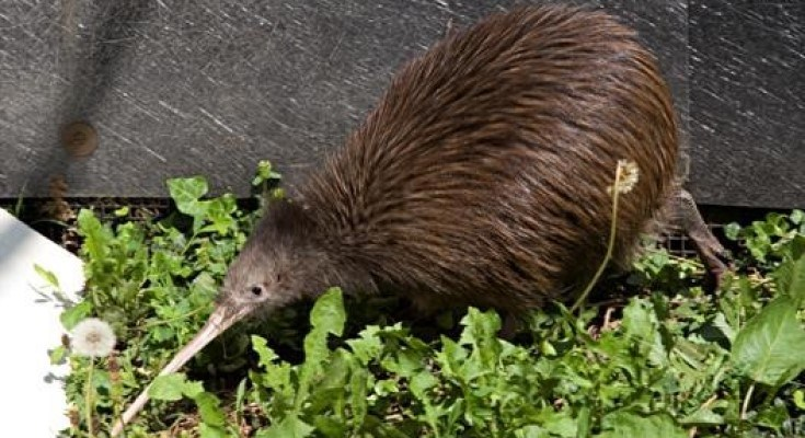 Two Brown Kiwi Die at Smithsonian Conservation Biology Institute