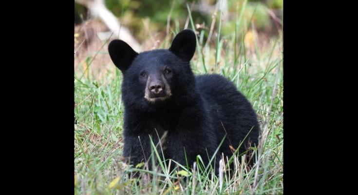Black Bear Sighing in West Goshen Township