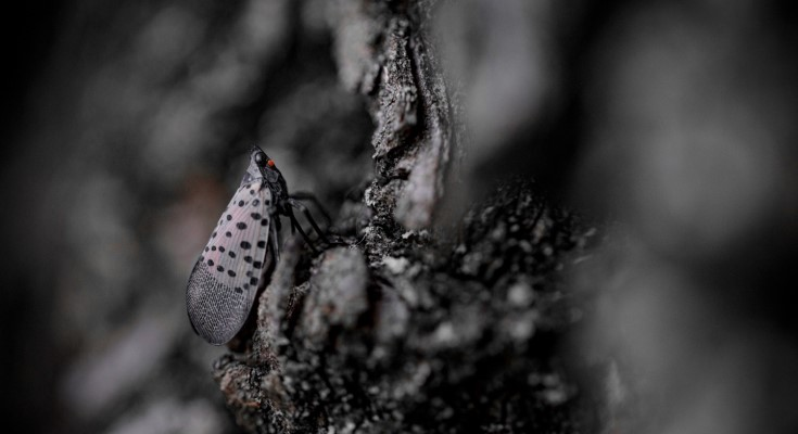 Department of Agriculture, Partners Urge Pennsylvanians to Squash Spotted Lanternflies Today for Future Food Security