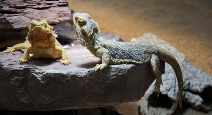 CDC Investigating Salmonella Outbreaks Linked to Pet Bearded Dragons, Pet Hedgehogs