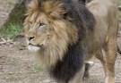 Male African lion, Luke