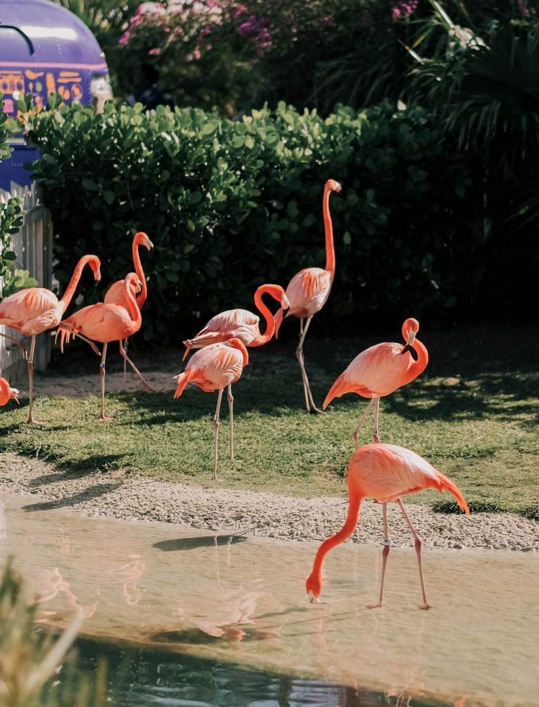 flamingos at baha mar nassau, bahamas