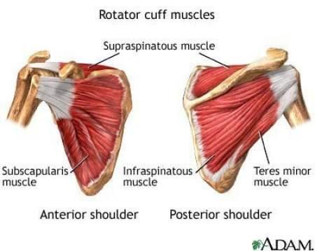 Shoulder muscles of scapula shown