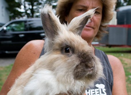 Kelly Cronin shows off an angora rabbit on her Prospect farm. Cronin, is planning to build a petting zoo and farm stand on her Spring Road property.