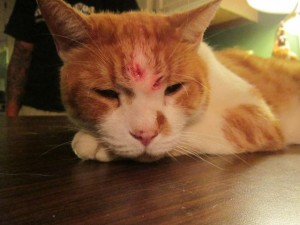 Naugatuck police are looking for information on who shot this cat with BB gun over the weekend. –CONTRIBUTED