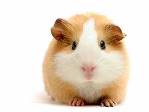 guinea-pig-wallpaper.jpg
