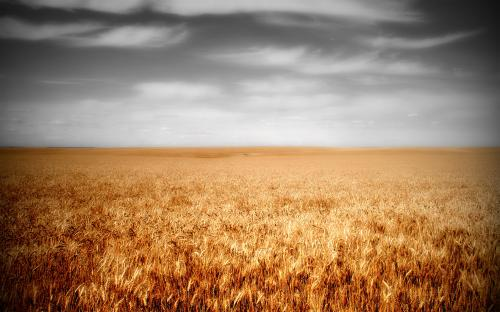 field-of-wheat.jpg