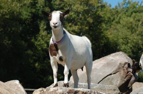 goats2september2007_034.jpg