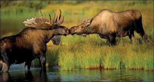moose-kiss.jpg