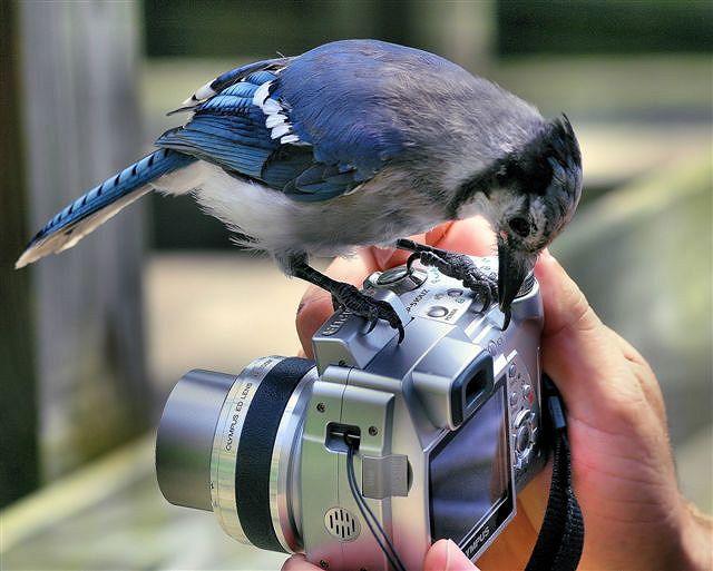 Blue Bird Photographer