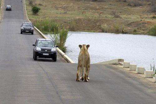 Lion Vs Car