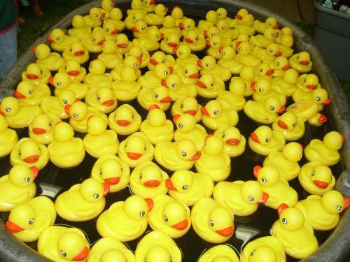 ducks - hundreds of them
