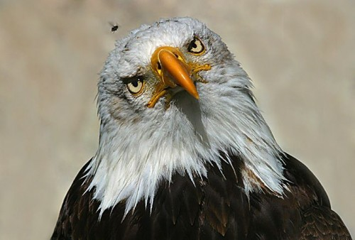 Inquisitive Eagle
