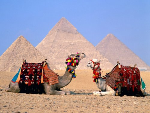 Colorful Camels and The Great Pyramids