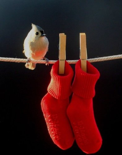 Red Socks bird